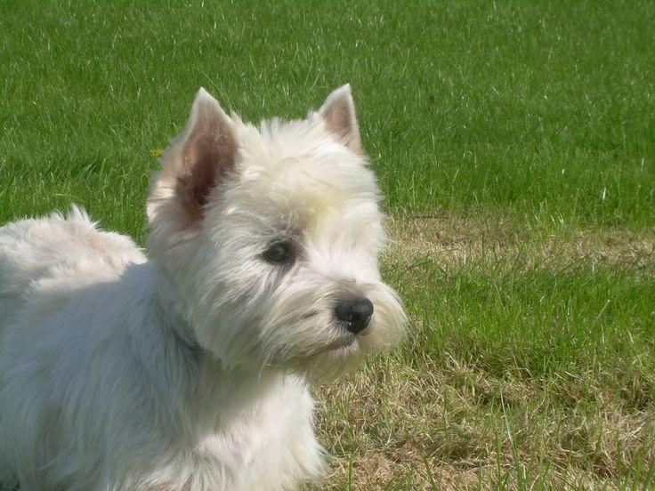 Cessation d'activité > Acheter un West Highland White Terrier > 36 - Indre France - Eleveurs-Online.com