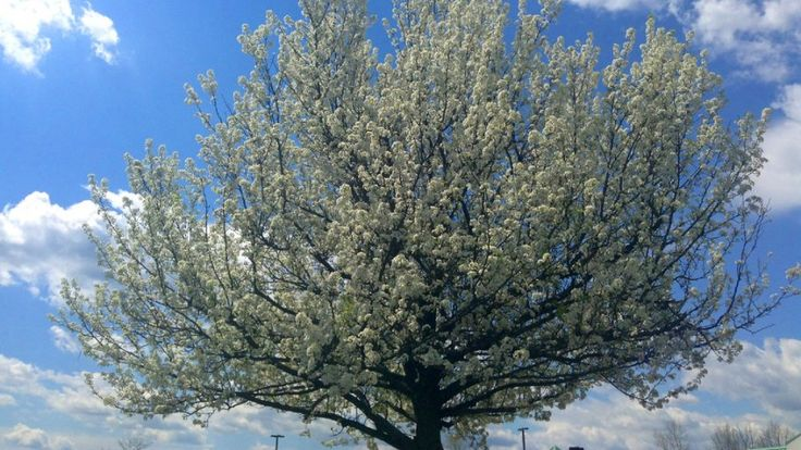 A flowering Bradford pear tree