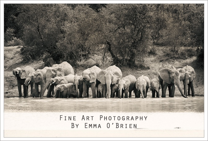 Herd of elephants at Pilanesberg Natioal Park http://emmaobrien.com