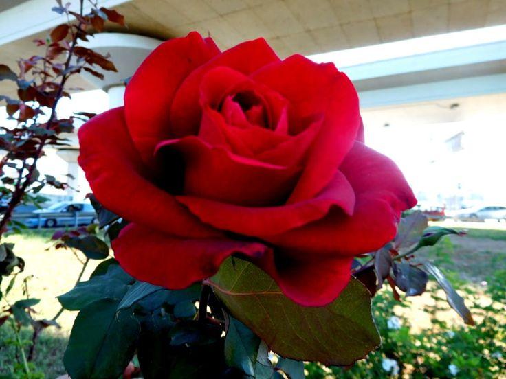 https://flic.kr/p/Ru1Tio | BEAUTIFUL VISION OF RED ROSE FROM HALANDRI