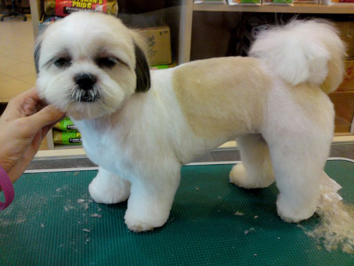 teddy bear haircut shih tzu teddy cut puppies and grooming 1370 | 776ed8f8680d85546058973896e2bf30