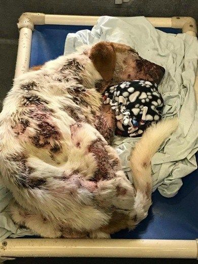 At just four years of age, a terribly neglected Lab just curled up in a shelter cage at the San Antonio Animal Care Services. Advocates flinched in pain at the sight of her condition, when the brown and white Labrador retriever's photographs circulated through social media. Where had she been and what happened? Was she …