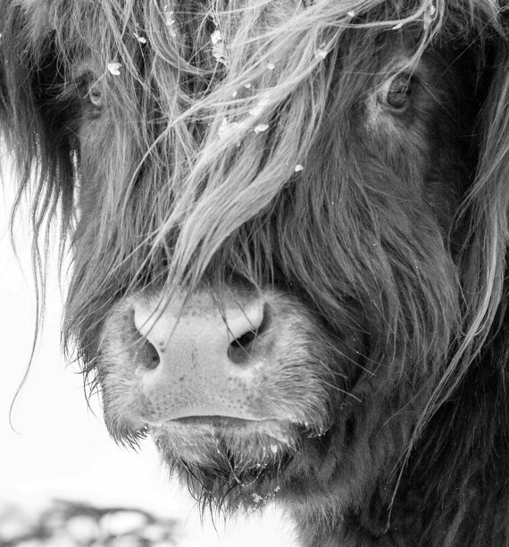 Highland Cattle 5  Series