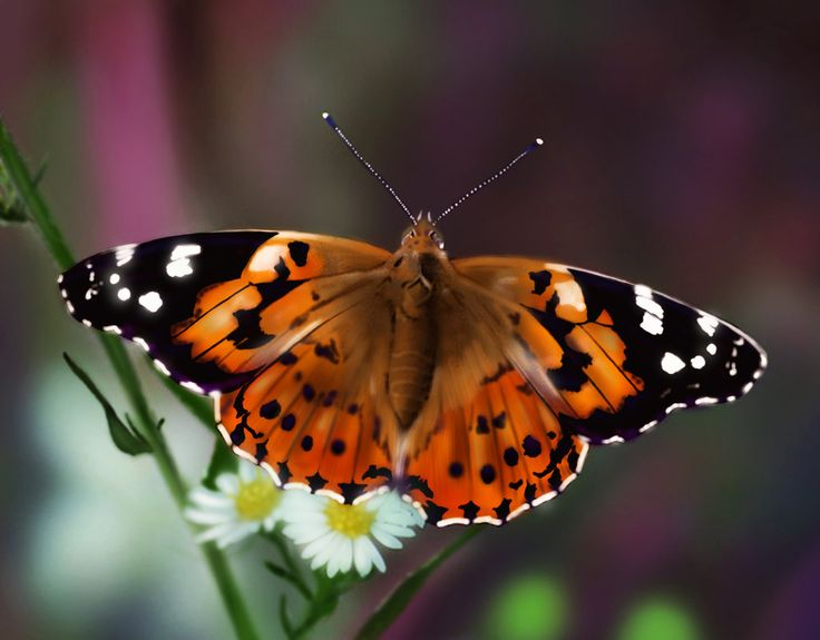 124 best 128 LADY BUTTERFLY images on Pinterest | Butterfly, Album ...
