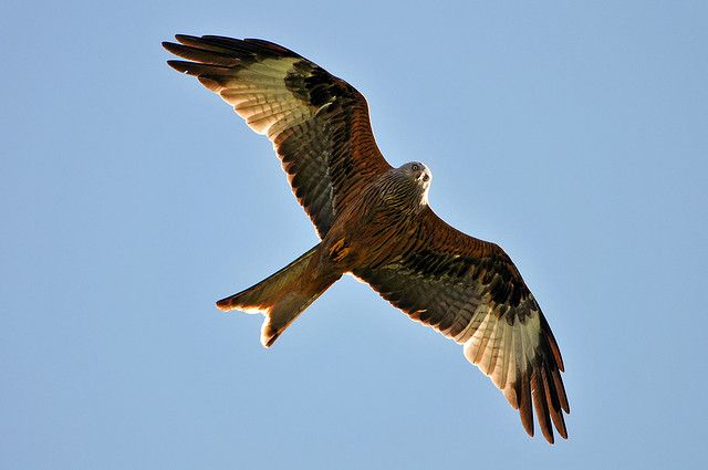 Red Kite - «I see a guy with a big camera but no mouse!» by Tambako the Jaguar, via Flickr