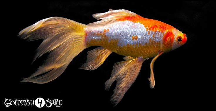 Oranda Goldfish For Sale | Goldfish For Sale Goldfish Food Goldfish Accessories Contact Login