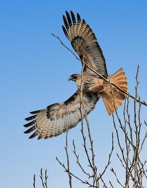 Hawk. I always feel at peace when I see a hawk soaring.