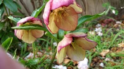 Love the colours on this hellebore