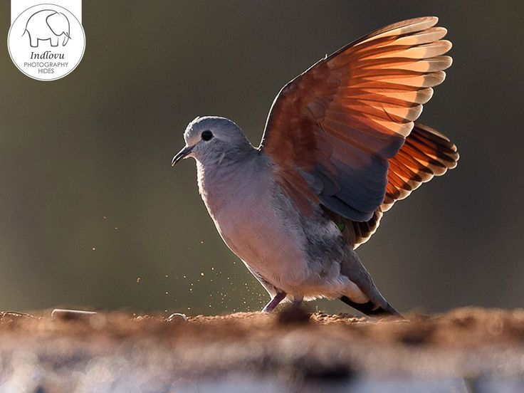 The Hoseng Photographic Hide is well positioned for you as photographer to capture close up images in early morning sunlight. It is ideal for both birding as well as wildlife photography. Link: http://ow.ly/v55Y30dG7TO