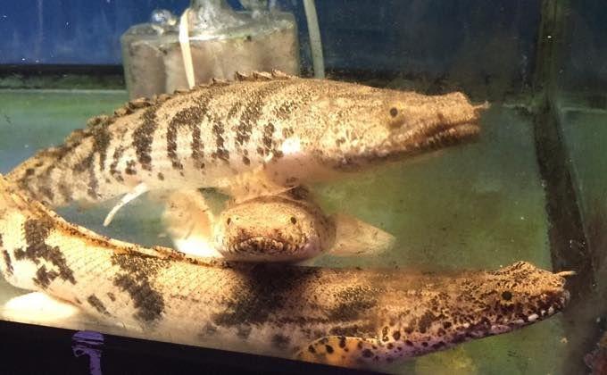 ポリプテルス エンドリケリーの特徴と飼育方法 値段 混泳 水槽の大きさは Woriver ポリプテルス ダトニオ 古代魚