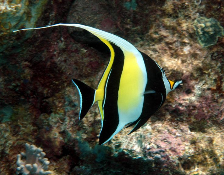25 best ideas about marine fish on pinterest beautiful for Oily fish representative species