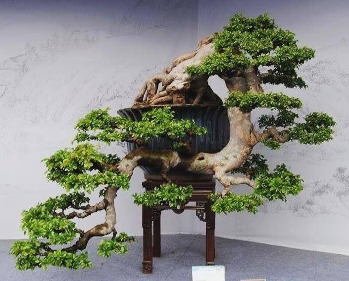 254 besten bonsai cascade bilder auf pinterest bonsai. Black Bedroom Furniture Sets. Home Design Ideas