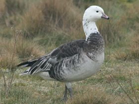 Ross's Goose x Barnacle Goose, Snettisham, 17-Mar-09