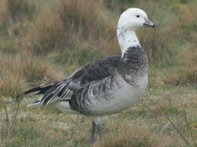 Ross's Goose x Barnacle Goose, Snettisham, 17-Mar-09