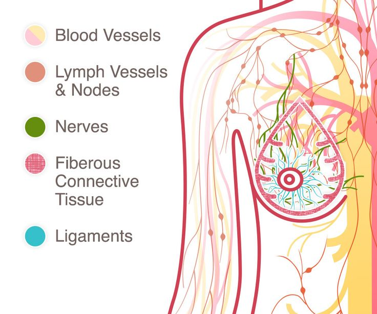 The Lymph System    Within the adipose tissue is a network of ligaments, fibrous connective tissue, nerves, lymph vessels, lymph nodes, and blood vessels.    The lymph system, which is part of the immune system, is a network of lymph vessels and lymph nodes running throughout the entire body. Similar to how the blood circulatory system distributes elements throughout the body, the lymph system transports disease-fighting cells and fluids. Clusters of bean-shaped lymph nodes are fixed in…