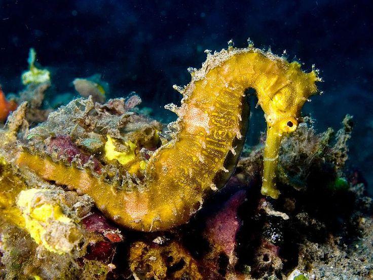 Un hippocampe hérissé photographié au Timor oriental (Hippocampus histrix)