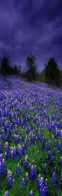 Bluebonnets under cloudy skies, J.M. Merlo Ranch - S by Jason Merlo on 500px