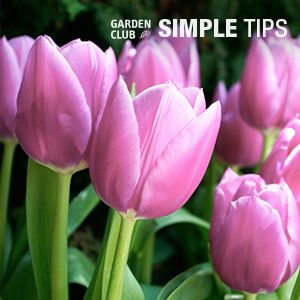 4 Tricks for Planting Tulip Bulbs | Garden Club