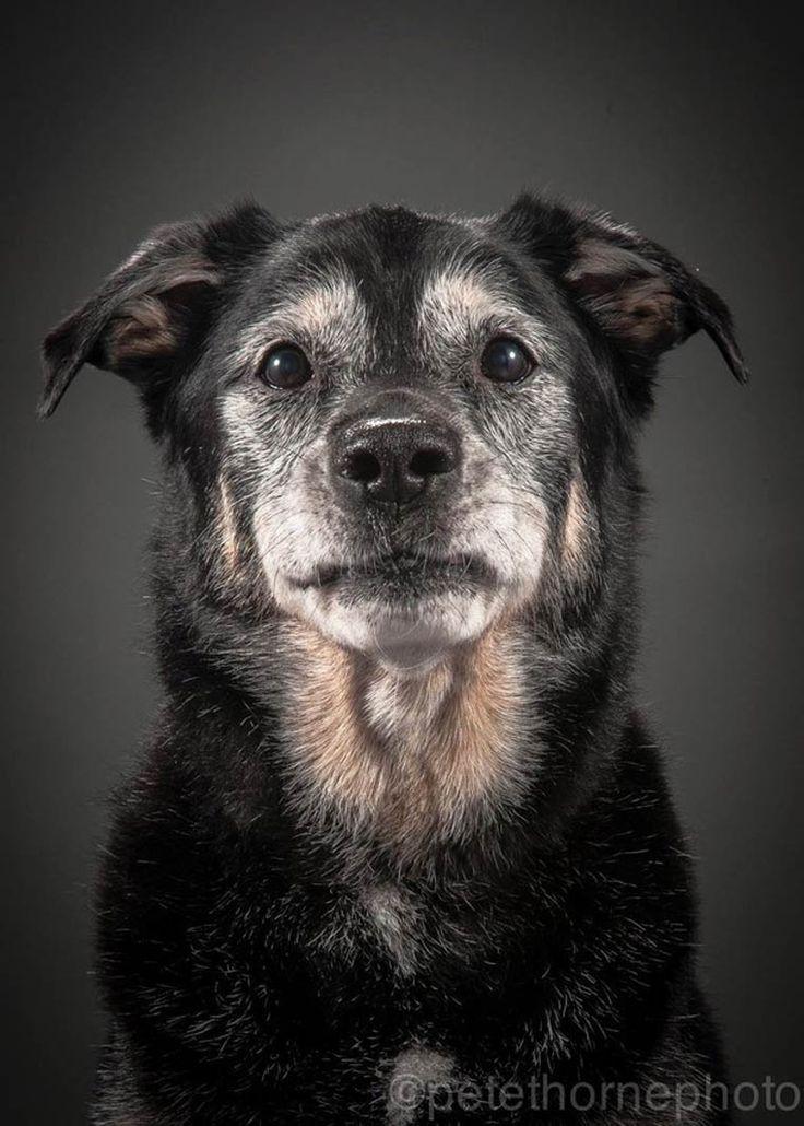 Avec son Old Faithful Project, le photographe canadienPete Thorne, basé à Toronto, a décidé de dresser le portrait des chiens les plus âgés, souvent de