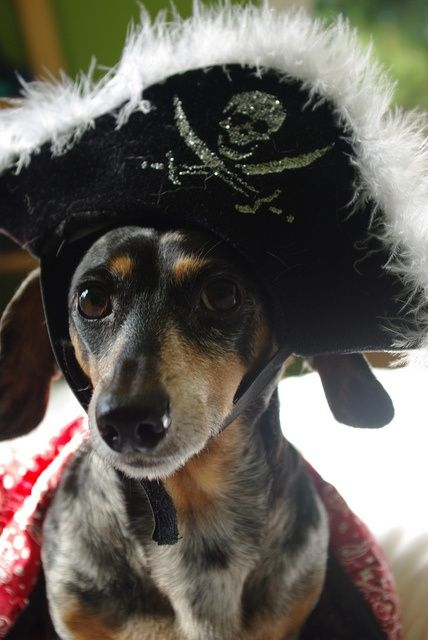 Dachshund pirate!