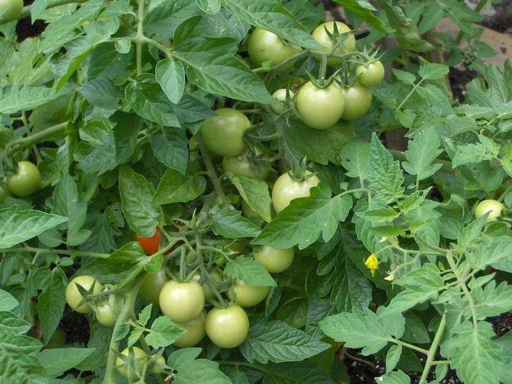 ¿Cómo se podan los tomates para que sean mucho más grandes y sabrosos?