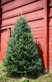 Fraser Fir Christmas Trees | Green Valley Christmas Trees