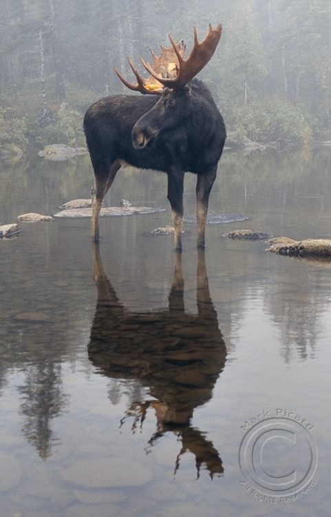 *Moose in the Morning Mist (by Mark Picard)