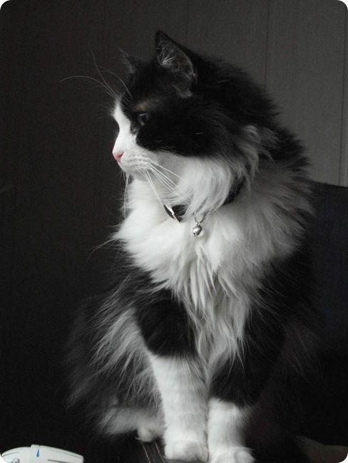 chat angora noir et blanc