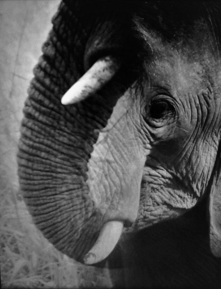 https://flic.kr/p/HD7AEV || Giulia Bergonzoni photography #amazing #elephant #photography #giulia #bergonzoni #photographer #wildlife #africa #wild #double #exposure #incredible #eye #nature #best #shots #fang #black #white #intriguing #unusual