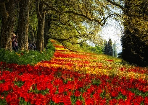 Red Petal Meadow, Mainau, German: Red Petals, Favorite Places, Flowers Paths, Color, Red Leaves, Tulip, Red Flowers, Petals Meadow, Photo