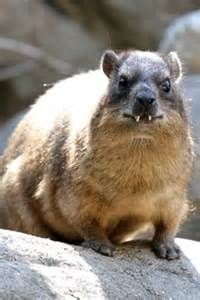 rock hyrax - - Yahoo Image Search Results