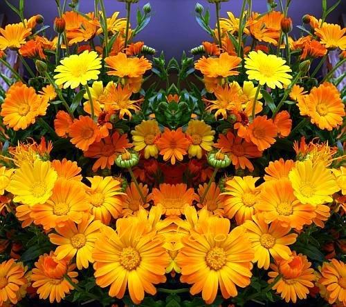 October Marigold Calendula Flowers Pinterest