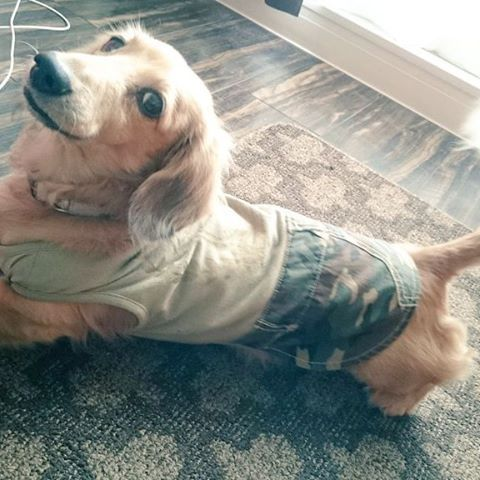 決めポーズ✨✨ ガッツリカメラ目線📷❤︎ #dog#犬#dogstagram #愛犬#ミニチュアダックスフンド#chocolate #ショコラ#fashion#best#ベストショット#love