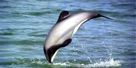 """The world's smallest dolphin - the Maui's - needs our help. A new study has just found that there are only 55 adult dolphins left, making it one of the most critically endangered marine species in the world. It lives exclusively off the coast of New Zealand, a nation which markets itself as """"100% Pure"""" - and yet the government is dragging its feet in protecting the dolphin."""