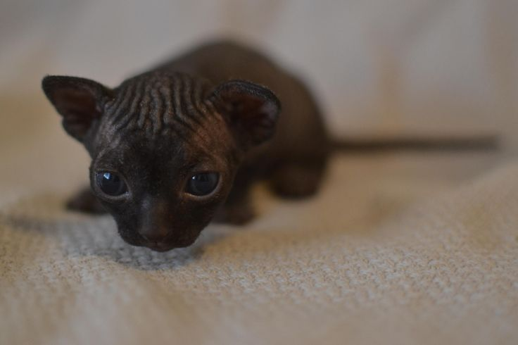 One of my bambino (short-legged sphynx) kittens at 20 days old! http://ift.tt/2ic2TvO