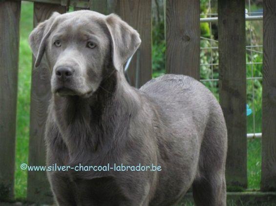 Zilveren Labradors - www.silver-charcoal-labrador.be