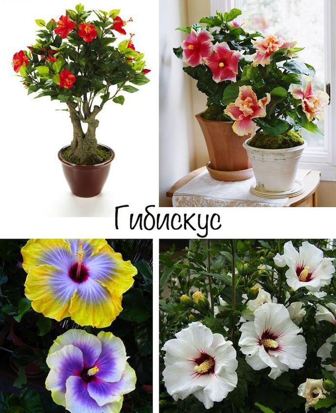 Неприхотливые комнатные цветы, гибискус