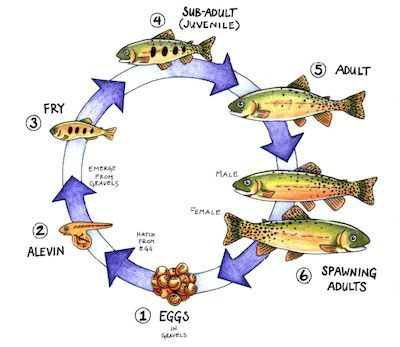 8 best images about fish ocean unit on pinterest crafts for Fish life cycle