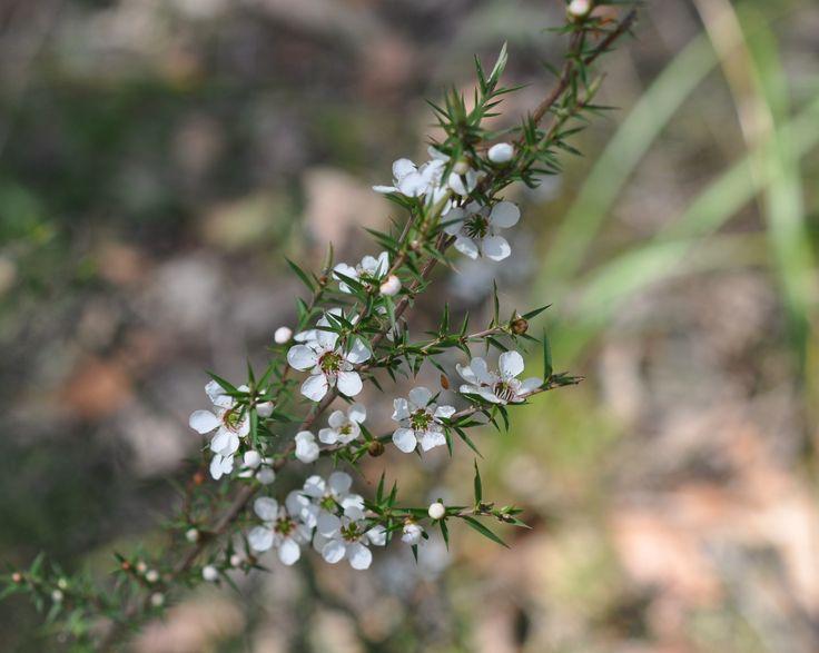 Prickly Tea-tree/Leptospermum continentale (Shrub) - Full Sun/Part Shade.
