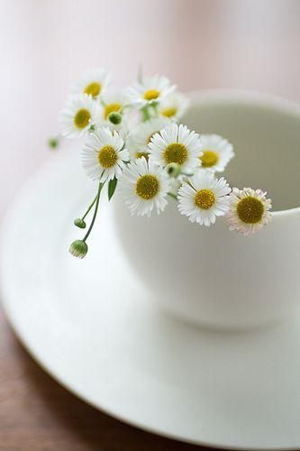 flower--camomile...