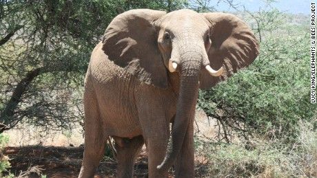 Elephants are a big issue for African farmers. The solution? The African honey bee.