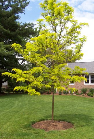 Gleditsia Sunburst Tree....ours is very tall.  Fave place to sit under in summer.