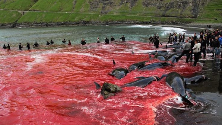 Stop the slaughter of whales at the Faroe Islands #GrindStop Petition · Stop alla strage di balene nelle isole Faroe #GrindStop · Change.org