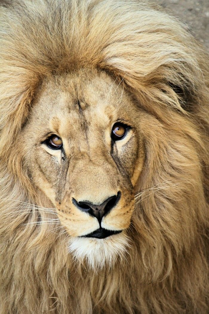 Pin By Josh Hawkins On World Best Animal Lion Pictures Lions Photos Animals Images