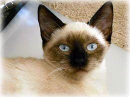 Cats generally, Pacific Siamese Rescue specifically