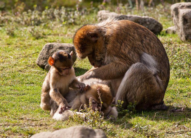 Peters Nieuws: De Berberaap familie