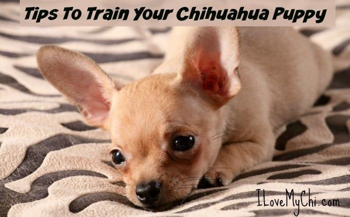 How To Train A Chihuahua Puppy Crate Training Potty Training A