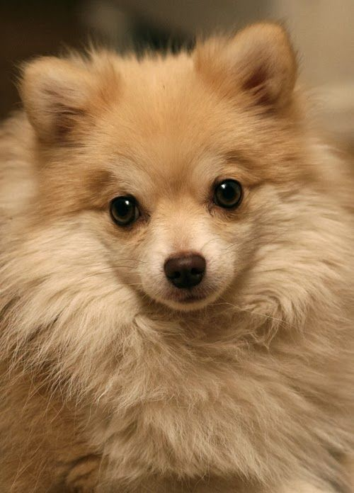 Pomeranian watching you