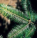 Grand fir leaves