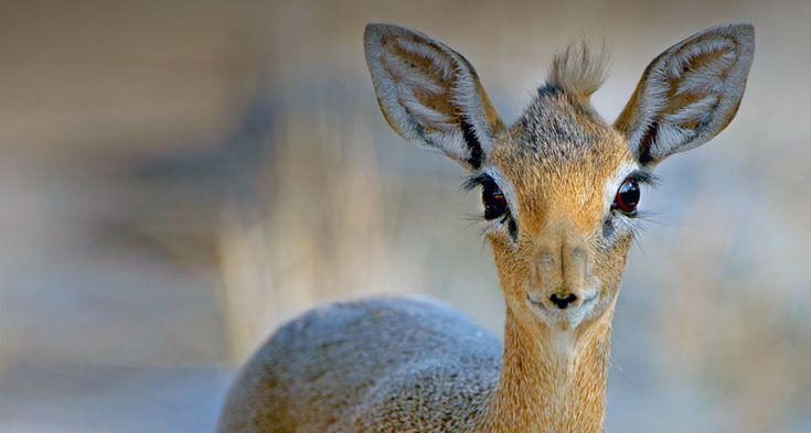 Close up of a Damara Dik-Dik (Madoqua kirkii) from Etosha National Park, Namibia